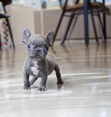 teacup french bulldog. Brilliant French Breed Teacup Frenchie Gender Female Color Blue Price  Size Maximum  Adult Weight 10lbs Intended French Bulldog