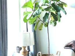 office plants for sale. Interesting Plants Best Office Plants Large Indoor And Trees Stunning Tall For Sale Durban On Office Plants For Sale E