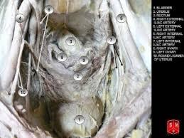 ligaments and pelvic fascia