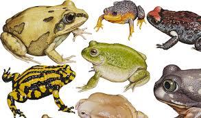 The Frogs Of Australia Australian Geographic