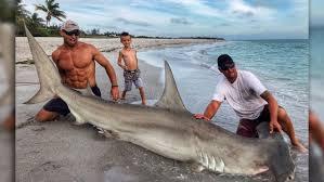 great hammerhead shark caught. Plain Hammerhead Elliot Sudal Caught A 12foot Male Hammerhead Shark Over The Weekend On  Sanibel In Great Hammerhead Shark Caught 7