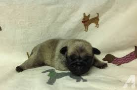 newborn pug puppies.  Pug Pets And Animals For Sale In Kentwood Louisiana  Puppy Kitten  Classifieds Buy Sell Kittens Puppies Americanlistedcom On Newborn Pug Puppies