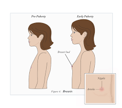 Breast during puberty for girls
