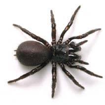 Spiders Victoria Victorian Spider In Australia Identification AqyO8Tw1