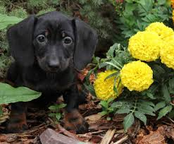 black tan wire miniature dachshund puppies for in co al ak