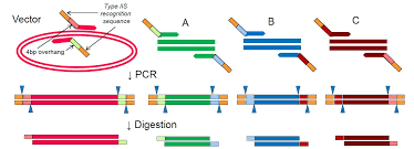 Restriction Enzyme Type Iis Restriction Enzymes Thermo Fisher Scientific Us