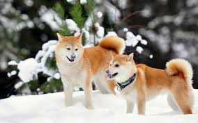 shibe wallpaper. Wonderful Wallpaper Shiba Inu Winter Snow Wallpaper In Shibe Wallpaper L