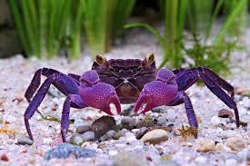 Vampire crab granchio vampiro geosesarma