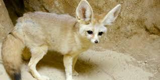fennec fox.  Fox A Canid Called A Fennec Fox With Thick Desert Sandcolored Fur Throughout Fennec Fox N