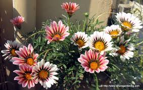 gazania a very beautiful annual from south africa