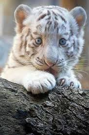 baby white cheetah.  Baby White Tiger Really Beautiful I Remember Seeing Mohini The White Tiger  That Was At National Zoo When A Child Bought Small Rubber  In Baby Cheetah T
