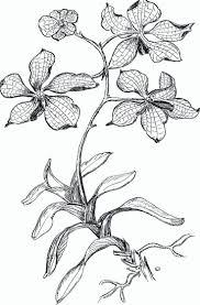 Orchid Coloring Pages Pictures Imagixs