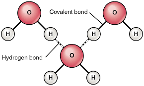 what atoms can form hydrogen bonds chemical bonds anatomy and physiology
