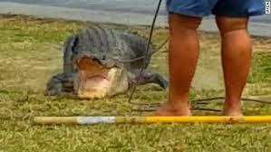 2017 Alligator Price Chart Florida Monster 780 Pound Gator Caught In Florida Cnn