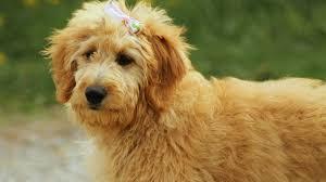 Labradoodle Designer Dogs These Trendy Designer Dog Breeds Will Set You Back Thousands