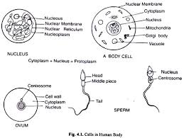 cell essay on cells in human body cells in human body