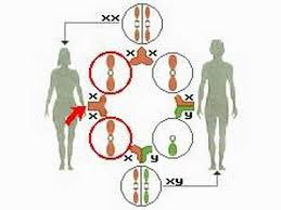 How The Body Works The Sex Chromosomes