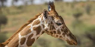 pictures of a giraffe. Brilliant Pictures The Head And Neck Of A Giraffe Wearing GPS Tracker Inside Pictures Of A Giraffe I