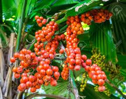ArecaceaePalm Tree Orange Fruit