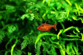 Карпообразные cypriniformes карпообразные рыбы описание внешний  Кровавая тетра или Минор hyphessobrycon callistus фото фотография аквариумные рыбы