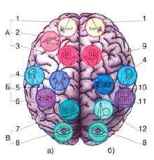 Межполушарная асимметрия головного мозга функциональная  Схема размещения центров которые отвечают за функции организма в коре головного мозга Участки головного мозга А лобная Б теменная В затылочная