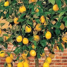 Lemon Citrus Tree  Michigan BulbWhat Fruit Trees Grow In Michigan