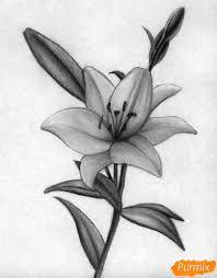 как нарисовать лилию карандашом или черной ручкой поэтапно