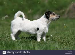 Jack Russell Terrier Standing In Stockfotos Jack Russell