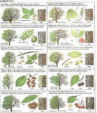 Ohio Leaf Identification Chart Ohio Leaf Identification Chart Tree Leaf Identification