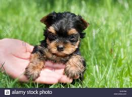 baby yorkshire terrier. Plain Baby Outdoor Close Portrait Of Single Young Baby Yorkshire Terrier In The Grass   Stock Image Throughout Baby P