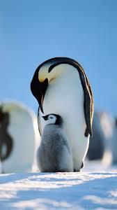 penguin love wallpaper. Delighful Love Penguins Family IPhone 66 Plus Wallpaper Penguin Pictures Images  Art Throughout Love Wallpaper