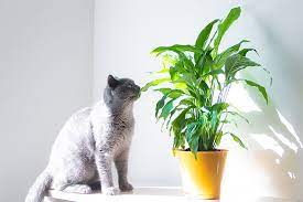 are peace lily plants toxic to cats