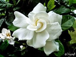 Assamese Flower Chart Tagar Phool Signifies Rongali Bihu In Assam Flowers