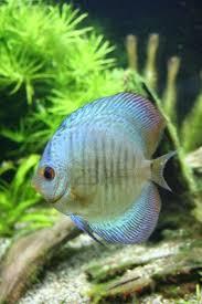 Blue Discus - Tropical Aquarium Fish
