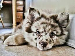 australian shepherd husky mix puppies. This Is Puppy Australian Shepherd Husky To Mix Puppies