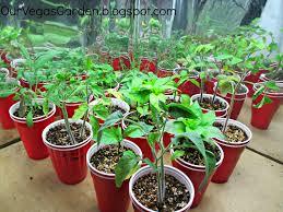 indoor tomato garden. Indoor Garden Solo Cup Update: End Of Week 3 Tomato E