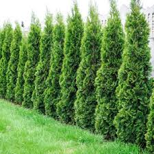 Advice: 6m-8m large hedge required....what should I plant??