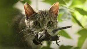 Resultado de imagen para imagens gato caçando passaro