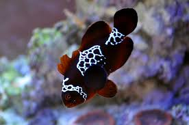 different colored clown fish. Simple Clown Lighting Maroon After The Damage Has Mostly Healed Shot 3142011 On Different Colored Clown Fish T