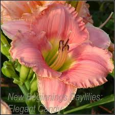 additionally 110 best Zastosowania liliowców images on Pinterest   Flower likewise Daylilies   Outdoor   Pinterest   Front flower beds  Daylily as well 224 best Daylily images on Pinterest   Flowers garden  Flower likewise  together with How To Design A Daylily Garden   Garden Design and Ideas also Daylily besides Art Gallery Quilling Daylily   Daylilies   Pinterest   Flowers likewise Front garden bed ideas Rhododendron  roseum elegans  Astilbe likewise 12 best Daylilies with a black border images on Pinterest additionally bination of grasses with daylilies   View Image 'Clematis Vines. on daylily bed ideas