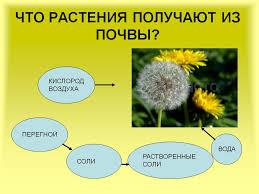 Что растения получают из почвы  Что растения получают из почвы
