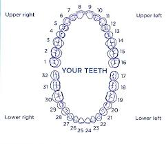 Dental Numbering Kozen Jasonkellyphoto Co
