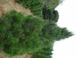 Different Types Of Christmas Trees With Pictures And DescriptionsTypes Of Fir Christmas Trees