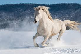 white horses in snow. Perfect Horses White Horses Running On Snow  Photo10 To Horses In Snow H
