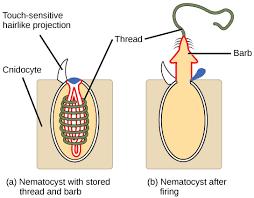 Phylum Cnidaria Biology I