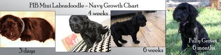 Mini Labradoodle Growth Chart Navy Mini Labradoodle Mini Doodle Dogs Mini