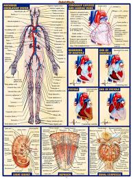 Cardiac Anatomy Chart 2019 Human Body Anatomical Chart Muscular System Campus Knowledge Biology Classroom Wall Painting Fabric Poster32x24 17x13 025 From Kaka1688 10 04