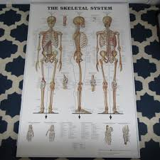 Large Anatomical Chart Company The Skeletal System Poster