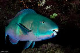 Resultado de imagen para pez loro
