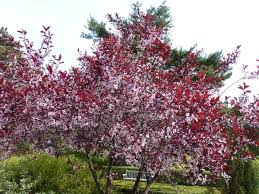 <b>Purple</b> leaf <b>sand</b> cherry shrub, low, grow behind (around?) rock <b>back</b> ...